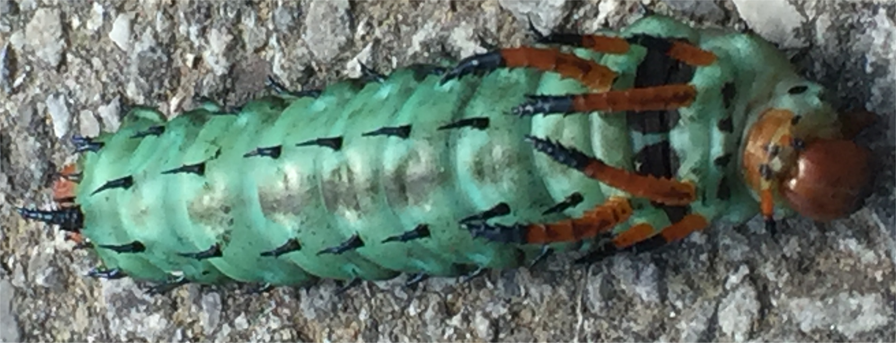 Rita's hickory horned devil